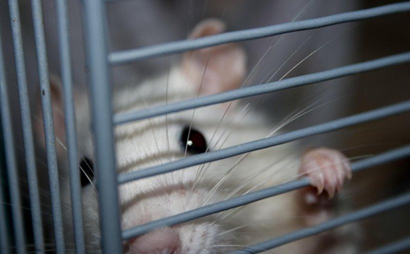 rat mouse