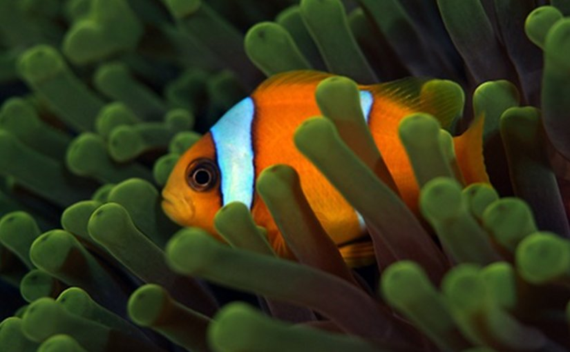 The clownfish (Amphiprion bicinctus) can transition from male to female in the absence of a mature female. (c) 2016 Till Rothig KAUST