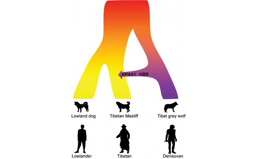 Ancient interbreeding with the Tibet grey wolf made the Tibetan Mastiff adapt to the high altitude. A similar evolutionary mechanism occurred in parallel in the Tibetan people, who received their high altitude adaptation after inbreeding with the Denisovans. Credit Zhen Wang, Shanghai Institutes for Biological Sciences, Chinese Academy of Sciences, Shanghai, P. R. China
