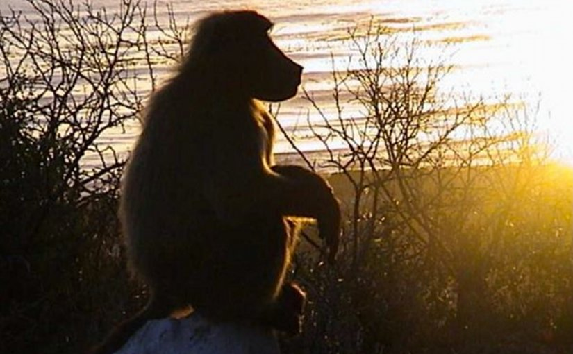 Guinea Baboons Can Produce Sounds Comparable To Human Speech