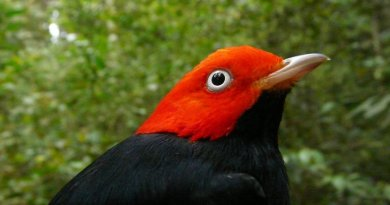 Red-capped manakin is shown. Credit Photo credit Jeff Brawn
