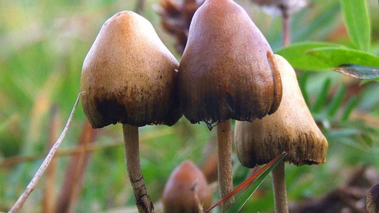 Psilocybe semilanceata. Photo by Arp, Wikipedia Commons.