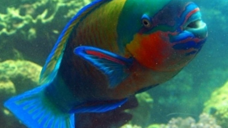 An example of a parrotfish. Photo Credit: Sri Lanka government.