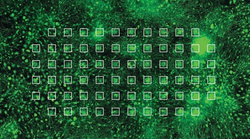 Image shows in green the cultivated neurons on a MEA forming a network. Each electrode is outlined and highlighted by a white square. © Stephen Jenkinson, Institute for Infectious Diseases.