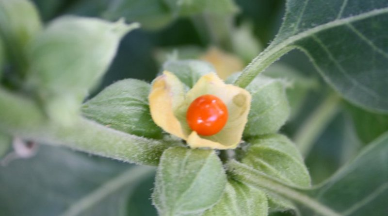 Ashwagandha (Withania somnifera). Photo by Wowbobwow12, Wikipedia Commons.