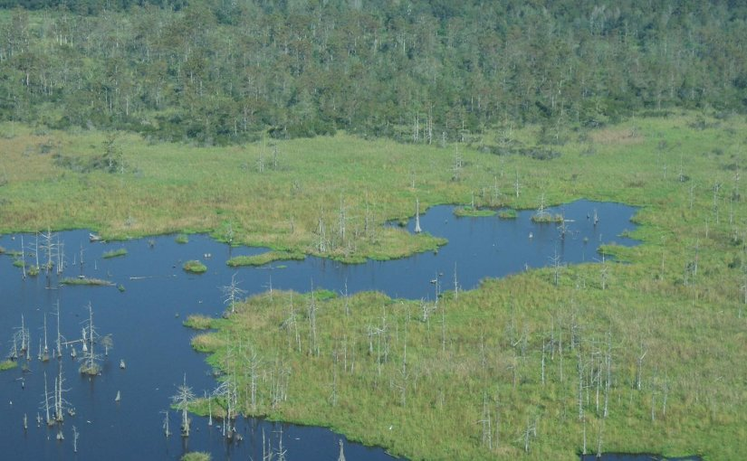 A swamp-to-marsh transition near Houma, Louisiana shows dead trees that are most likely the result of saltwater intrusion. Credit Torbjorn Tornqvist
