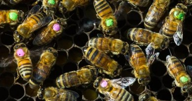 Honeybees treated with a common antibiotic (with pink dots) were half as likely to survive the week after treatment compared with a group of untreated bees (green dots). Credit Vivian Abagiu/U. of Texas at Austin