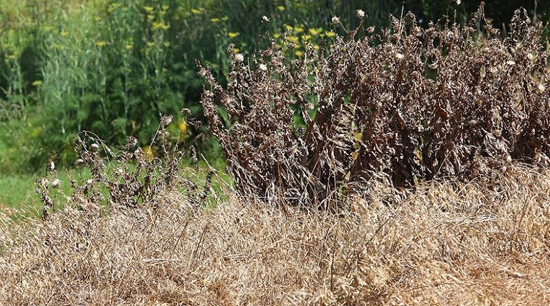Weeds controlled with herbicide. Photo by fir0002, Wikipedia Commons.