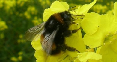 This is a Bombus terrestris foraging on oil seed rape. Credit Dara Stanley