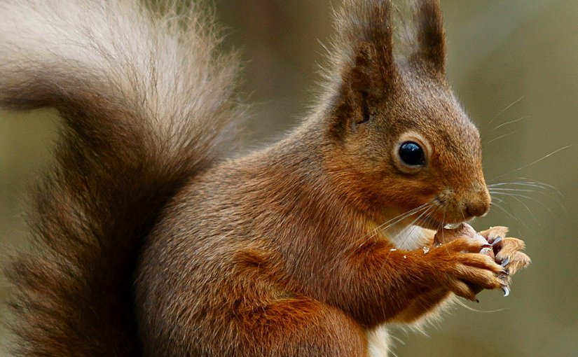 A Red Squirrel. Photo by Peter Trimming, Wikipedia Commons.