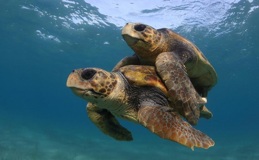 This research suggests that that warmer temperatures associated with climate change may lead to higher numbers of female sea turtles and increased nest failure. Credit Kostas Papafitsoros