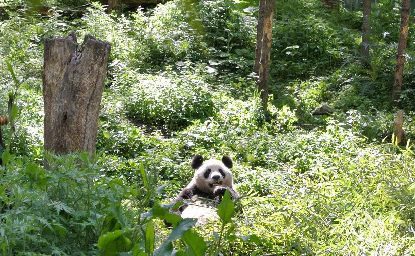 A panda in China's Wolong Nature Reserve, snacks on bamboo. Efforts to conserve panda habitat have benefited both other animals and plants, but also has benefited humans by bolstering forests to sequester greenhouse gases, and retain water and soil. Credit Sue Nichols, Center for Systems Integration and Sustainability, Michigan State University