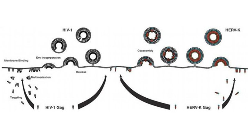 HERV-K Gag and HIV-1 Gag coassembly cause a reduction in both HIV-1 particle release and infectivity. Credit Dr. Kazuaki Monde