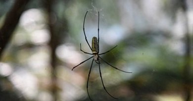 The golden silk orb weaver (Nephila pilipes) creates dragline silk that prevents it from spinning while hanging from its web. CREDIT: Kai Peng of Huazhong University of Science and Technology