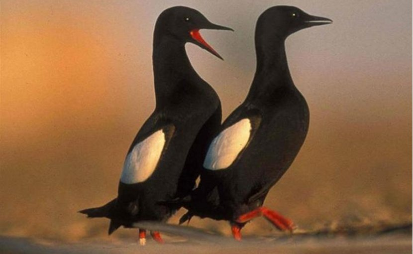 A pair of black guillemots. Credit: Friends of Cooper Island.