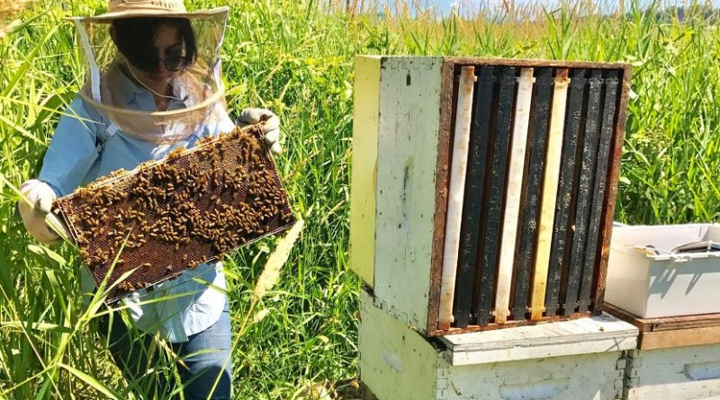 Simon Fraser University researcher Oldooz Pooyanfar has developed a bee monitoring system to study honey bee health. Credit SFU