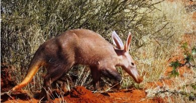 This is an aardvark in the Kalahari desert in South Africa. Credit Wits University