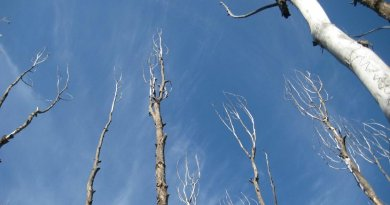 Drought-affected aspen trees in Colorado. The paper's authors argue that assessments of drought-recovery need to account for the restoration of normal plant function, not just the amount of precipitation. Credit Image is courtesy of William and Leander Anderegg.