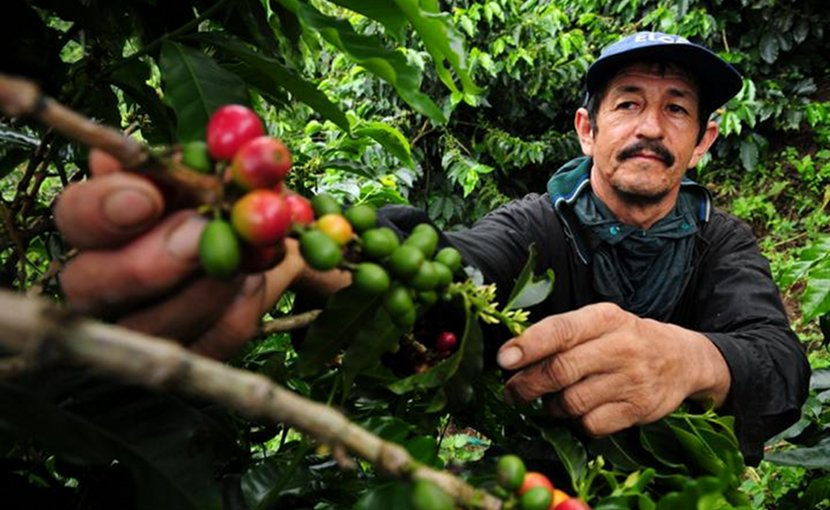 A coffee farmer picks fresh coffee cherries in Colombia. New climate research suggests Latin America faces major declines in coffee-growing regions, as well as bees, which help coffee to grow. Credit Photo by Neil Palmer (CIAT).