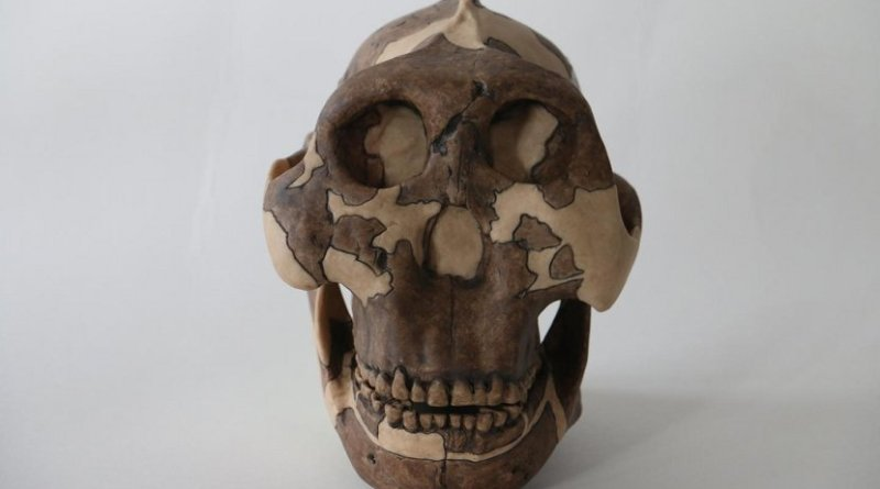 This is a cast of a P. boisei skull, used for teaching at Cambridge University Credit Louise Walsh
