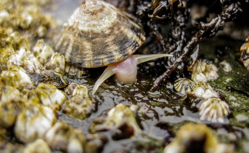 A limpet grazing on microscopic algae from the rocks in the marine intertidal zone. Credit Rebeccas Kordas