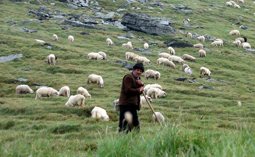 Shepherd with grazing sheep in Făgăraș Mountains, Romania. Photo by friend of Darwinek, Wikimedia Commons.