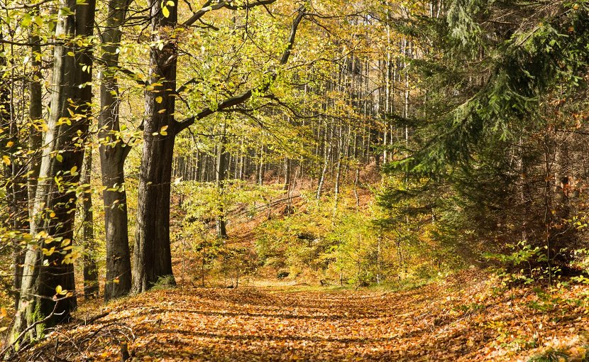 This is a biodiverse forest with Norway spruce, beech and birch trees. Picture was taken in autumn in middle Germany. Credit Christian Hueller