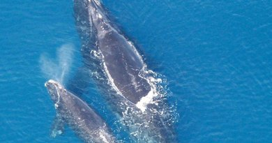 North Atlantic right whales. Photo credit: NOAA, Wikipedia Commons.