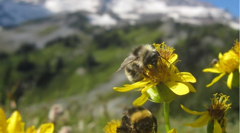 This is a Broadleaf arnica on Mount Rainier with bumblebees. Credit Elli Theobald