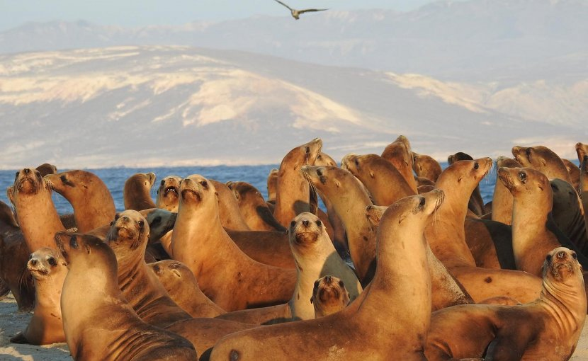 Female and juvenile California sea lions on San Miguel Island, California. Santa Rosa Island is visible in the background. Credit Jeff Harris/Alaska Fisheries Science Center/NOAA Fisheries