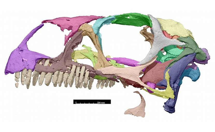 The profile view of the Massospondylus skull after being scanned. Credit Kimberley Chapelle