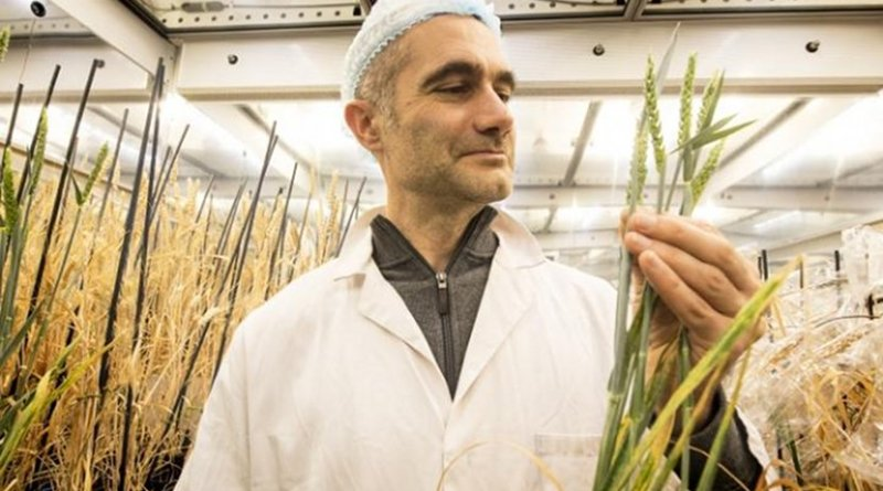 Speed breeding means that it is now possible to grow as many as 6 generations of wheat every year -- a threefold increase on the techniques currently used by breeders and researchers. Credit John Innes Centre