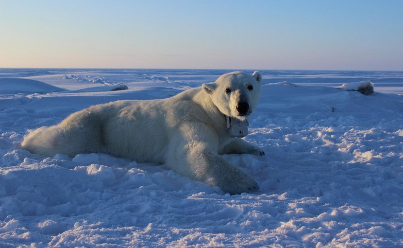 This is an adult female polar bear on the sea ice wearing a GPS satellite video-camera collar. GPS video-camera collars were applied to solitary adult female polar bears for 8 to 12 days in April, 2014-2016. These collars enabled researchers to understand the movements, behaviors, and foraging success of polar bears on the sea ice. Credit Anthony Pagano, USGS