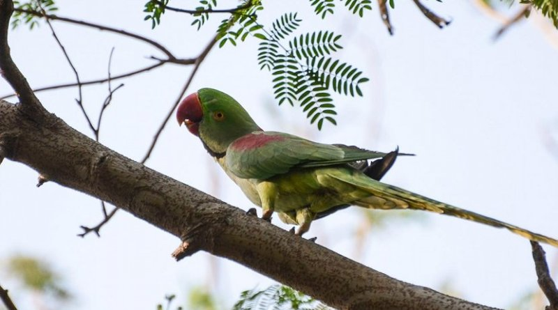 Coffee lovers include IUCN Red-Listed species such as the Alexandrine parakeet (Psittacula eupatria). Credit Manish Kumar