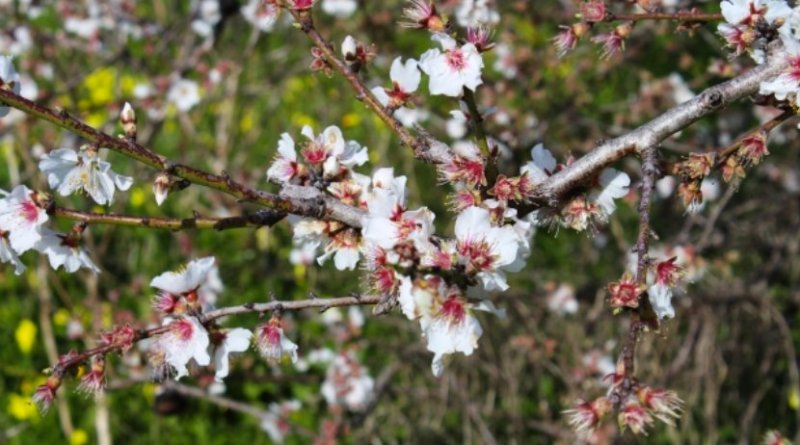 Almond tree blossoms.