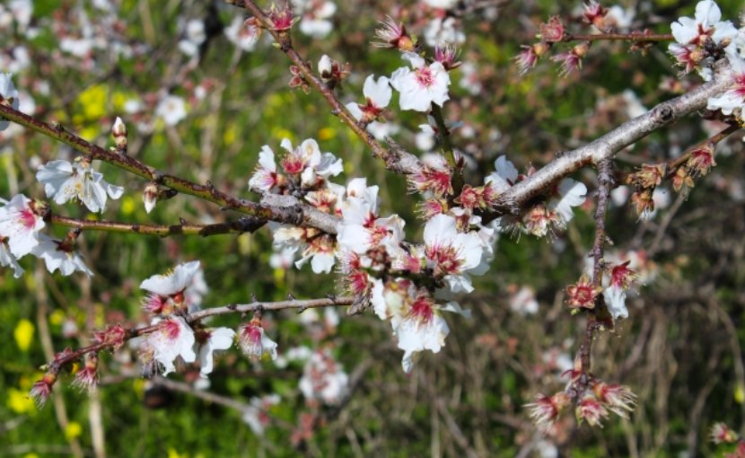 Almond tree blossoms.