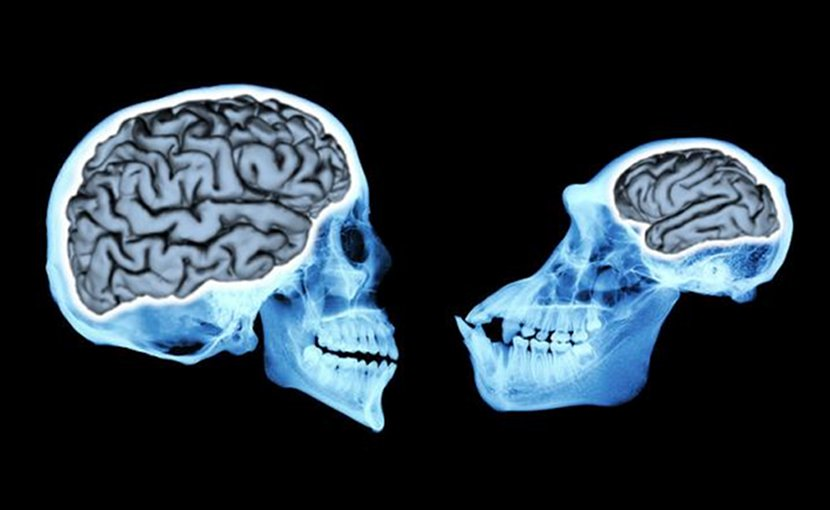 Modern human brains (left) are more than three times larger than our closest relatives, chimpanzees (right). Credit Andrew Du, UChicago
