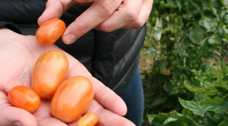 These are tomatoes grown using half the water. Credit University of Seville