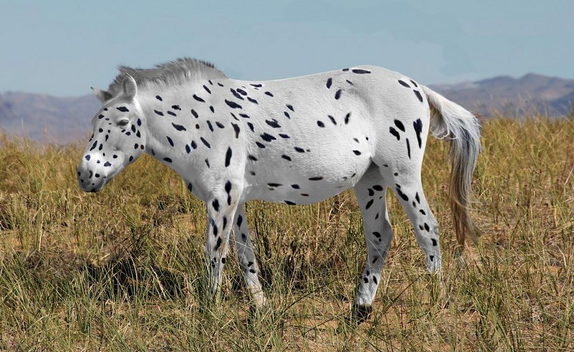 This is a recreation of a Przewalski's horse bred with leopard coloring. Copyright Ludovic Orlando, Seas Goddard and Alan Outram Credit Ludovic Orlando, Seas Goddard and Alan Outram