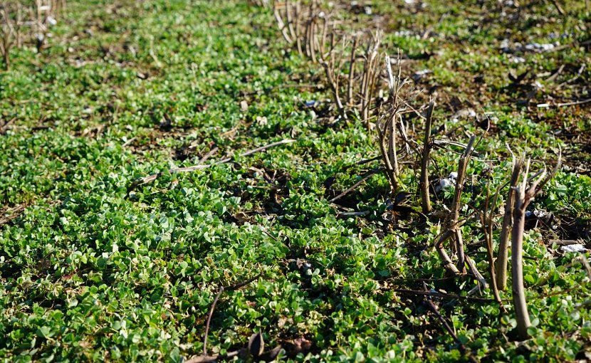 Clover peeks out among the residual stalks of harvested cotton crop in a research plot at a University of Tennessee AgResearch and Education Center in West Tennessee. Clover is among the cover crops planted following cotton harvest to help preserve soils and restore fertility. The particular plot shown was part of a long-term study started 29 years ago by UT's renown soil scientist the late Don Tyler. Credit G. Rowsey, courtesy UTIA.