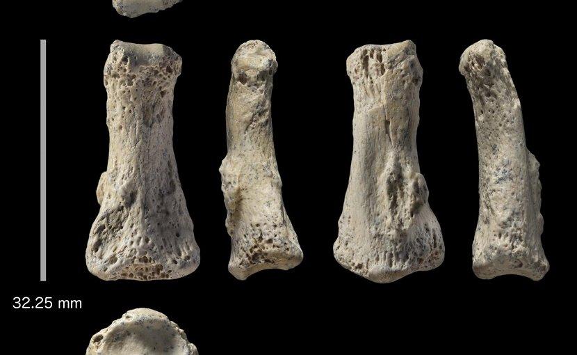 Fossil finger bone of Homo sapiens from the Al Wusta site, Saudi Arabia. CREDIT Ian Cartwright