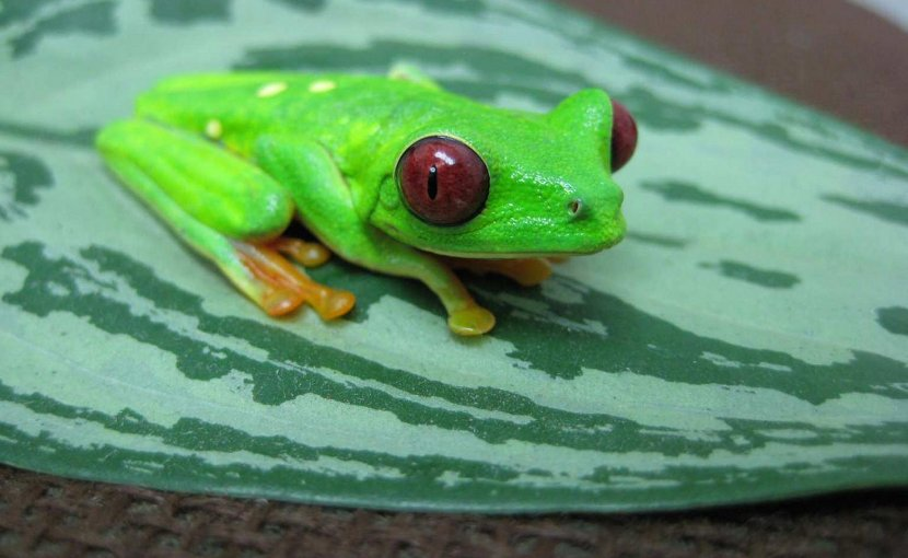 This is an Agalychnis callidryas, more commonly known as the red-eyed tree frog. The species is native to Panama. Credit Photo by Louise Rollins-Smith, Ph.D.