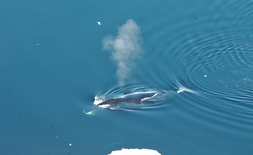 A bowhead whale surfaces in Fram Strait, to the northwest of Norway. Credit Kit Kovacs/Norwegian Polar Institute