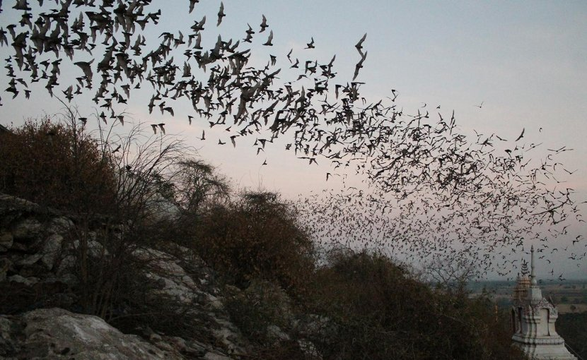 These are bats emerging from a cave in Thailand. Credit CC Voigt/Leibniz-IZW