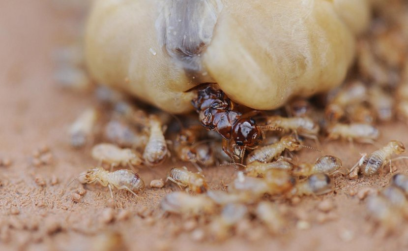 The queen of the termite species Macrotermes bellicosus lays approximately 20,000 eggs a day, yet it can live up to 20 years. Credit Photo: Judith Korb