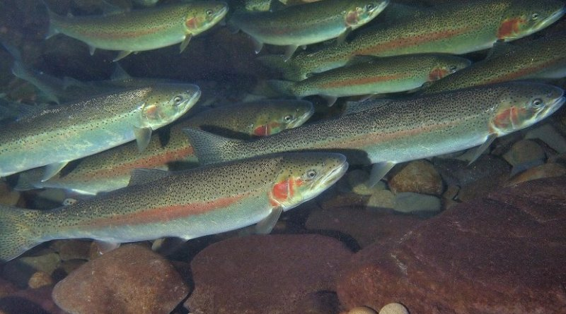 Steelhead trout, a member of the salmon family that lives and grows in the Pacific Ocean, genetically adapted to an entirely freshwater environment in 120 years. Credit John McMillan