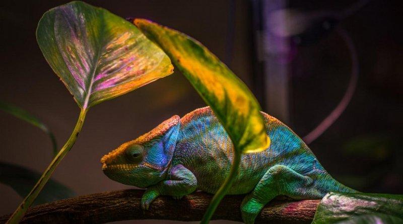 Novel nanolaser leverages the same color-changing mechanism that a chameleon uses to camouflage its skin. Credit Egor Kamelev