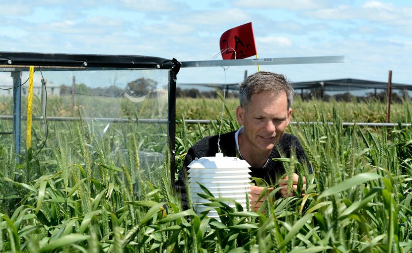 Nutall applies acute high temperature treatments to wheat, Agriculture Victoria, Department of Economic Development, Jobs, Transport and Resources. Credit Piotr Trebicki