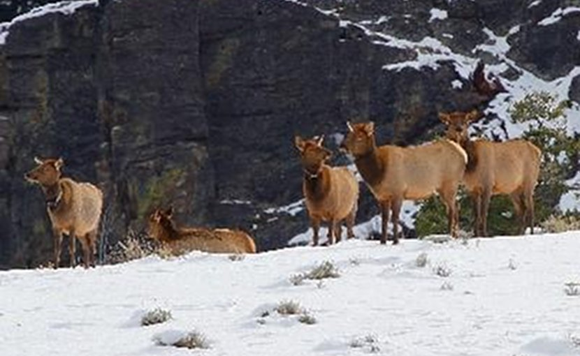 Utah State University scientists have shown that a 'landscape of fear' does not keep Yellowstone elk from using risky habitats where wolves kill them. In an Early View online article of Ecological Monographs, the researchers discuss how elk use nightly lulls in wolf activity to safely access dangerous areas. Credit Credit: Chad Wildermuth
