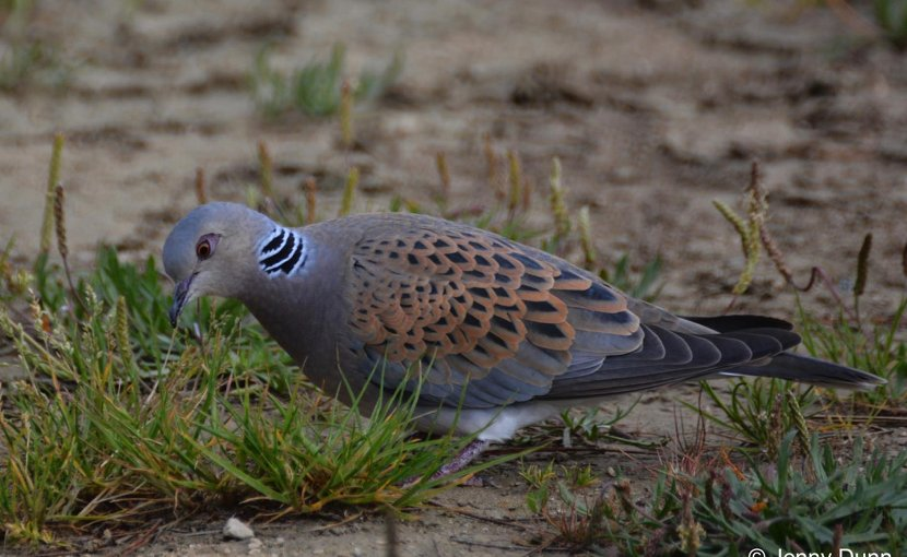 New research into Britain's fastest declining bird species has found that young turtle doves raised on a diet of seeds foraged from non-cultivated arable plants rather than food provided in people's gardens are more likely to survive after fledging. Credit Jenny Dunn